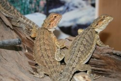 Bearded Dragons at the ideal size to buy