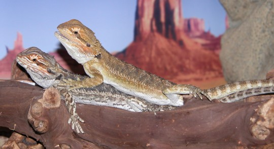 8 week old bearded dragons