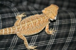 Bearded Dragon 14 weeks old