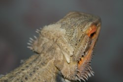 Bearded dragon shedding on head