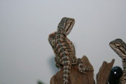 Bearded Dragon hatchlings