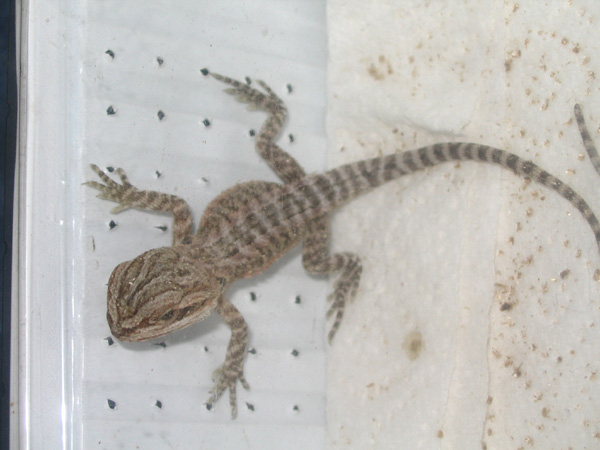 Bearded Dragon hatchling 2 days old