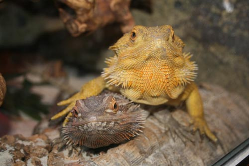 bearded dragons posing