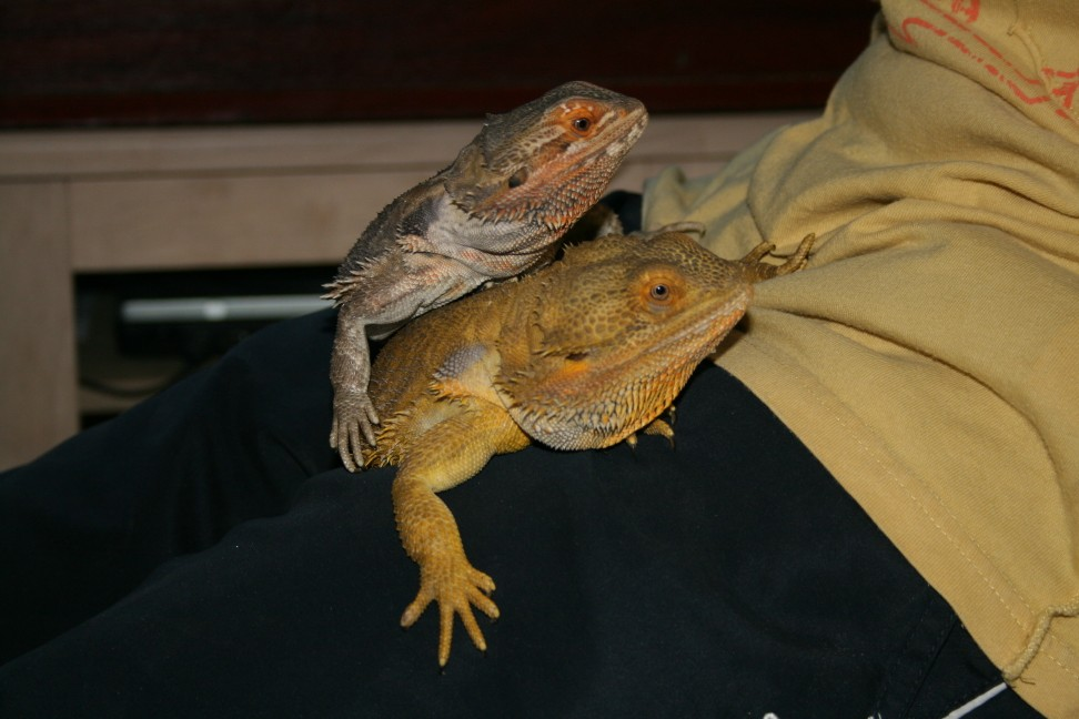 one year old bearded dragons