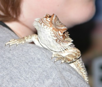 Bearded dragon at 10 weeks old