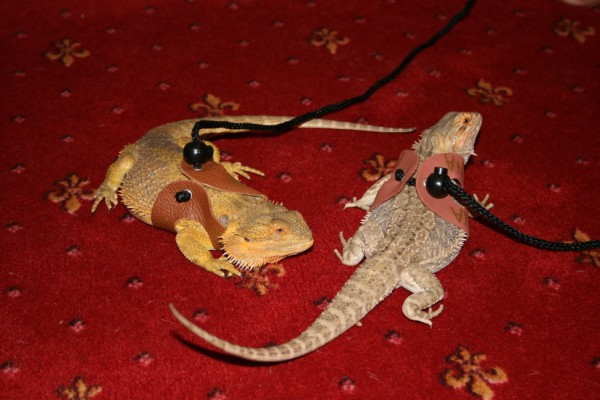 bearded dragons six months