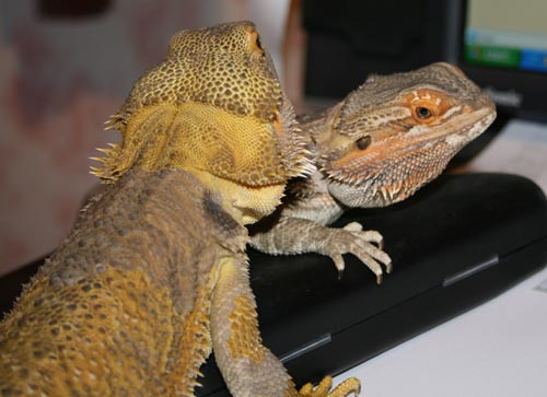 bearded dragons 9 months old