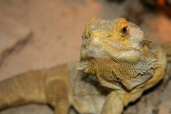 Bearded Dragon shedding on face