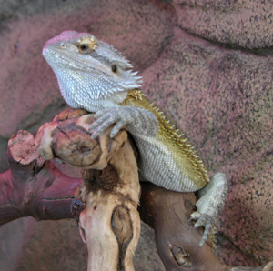 bearded dragon at 13 weeks