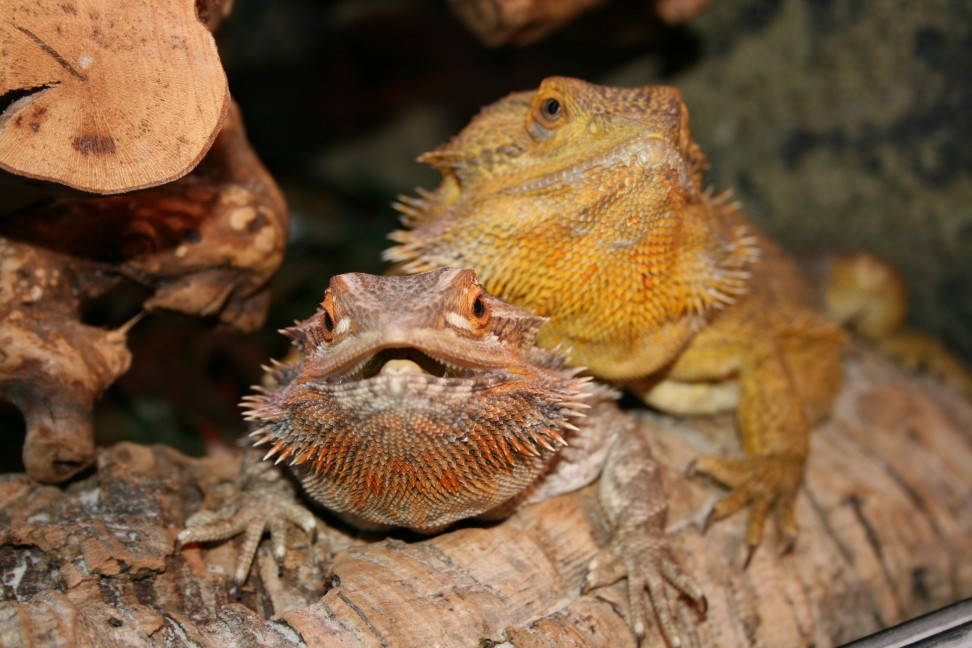 bearded dragons at one year old