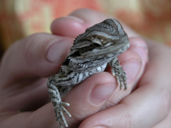 bearded dragon six weeks old