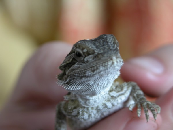 bearded dragon 6 weeks old