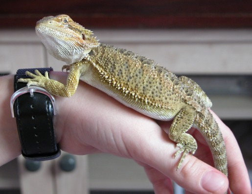 Bearded dragon 10 weeks
